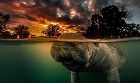 OUT+ABOUT: Swimming With Manatees (or Not)