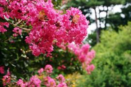 'Tree City' Leesburg celebrating with giveaway of 50 crape myrtles