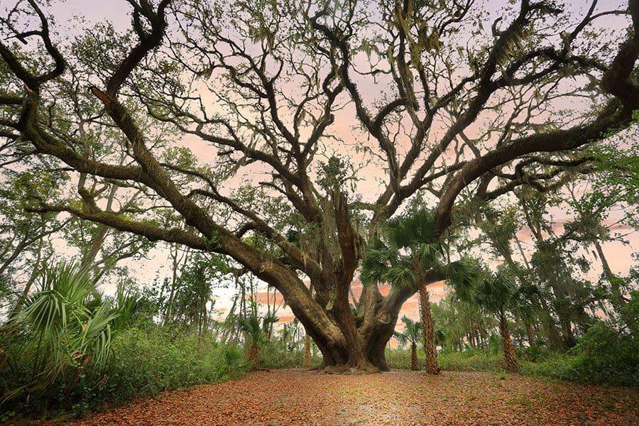 Live-Oak-tree