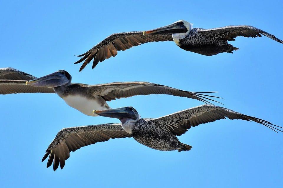 brown-pelicans-flying