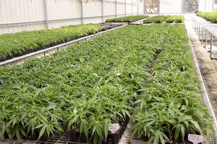 indoor hemp growing